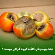 علت پوسیدگی گلگاه گوجه فرنگی چیست؟