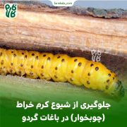 جلوگیری از شیوع کرم خراط (چوبخوار) در باغات گردو 🌳🌳🐛🐛