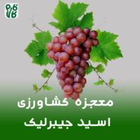 اسید جیبرلیک - معجزه کشاورزی - هورمون رشد - اسیدجیبرلیک - جیبرلیک اسید - اسید جیبرلیک چیست - جیبرلیک اسید چیست - اسیدجیبرلیک چیست- جیبرلیکاسید چیست- معجزه کشاورزی - چه گونه انگور را بی دانه کنیم - نحوه بی دانه کردن انگور - انگور با حبه های درشت - درشت کردن حبه های انگور - نحوه بزرگ تر کردن حبه های انگور - دیر برداشت کردن محصولات - چه گونه میوه های خود را دیر برداشت کنیم - هورزمون رشد - نحوه بی دانه کردن انگور - به تعویق انداختن برداشت - نحوه بزرگ کردن حبه های انگور - چه گونه حبه های انگور را درشت کنیم